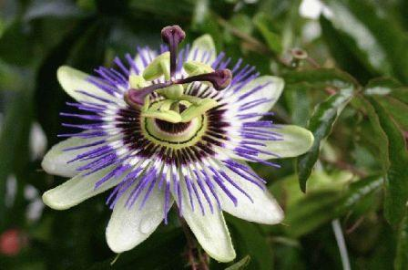 passiflora 2 - Most Beautiful Passion Flowers In the World