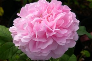 rosa marchesa boccella ashdownroses 01 300x200 - Top 10 Beautiful Pink Roses In The world