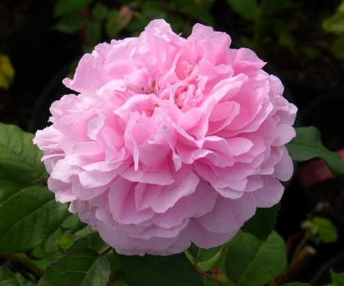 rosa marchesa boccella ashdownroses 01 - Top 10 Beautiful Pink Roses In The world