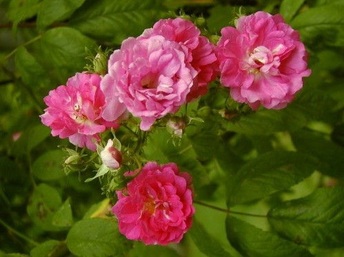 sevensistersrose - Top 10 Beautiful Pink Roses In The world