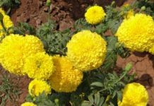 types of marigold flowers