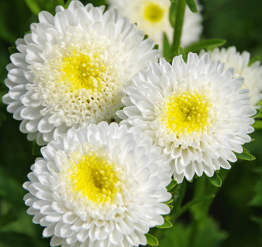 white matsu - Top 10 Most Beautiful Aster Flowers