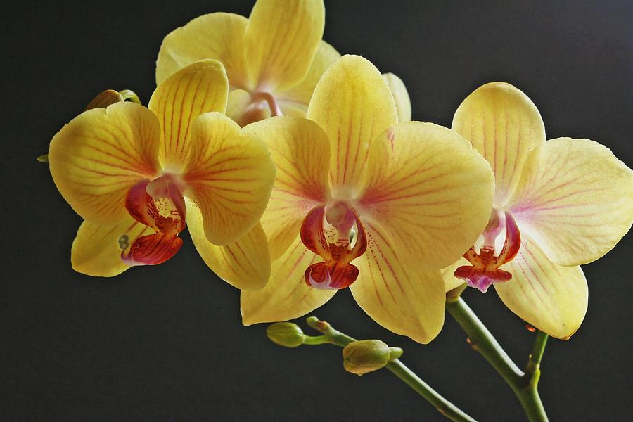 yellow orchids ian hargraves - Top 15 Beautiful Yellow Flowers In The World