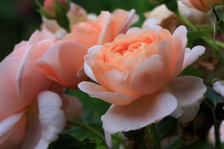 Ambridge Rose 1 - Most Beautiful Orange Roses In The World