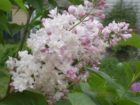 Beauty of moscow - Top 10 Most Beautiful Lilac Flowers