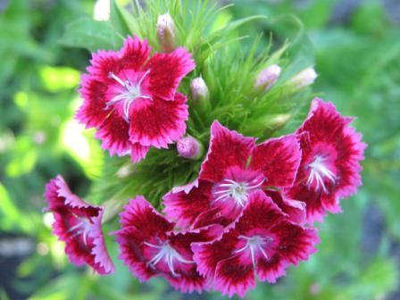 Carnation Flower 1 - Most Beautiful Carnation Flowers In The World