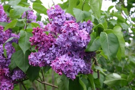 Congo flower images - Top 10 Most Beautiful Lilac Flowers