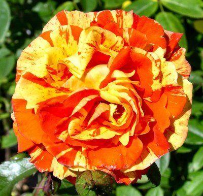 Orange Rose1 1 - Most Beautiful Orange Roses In The World
