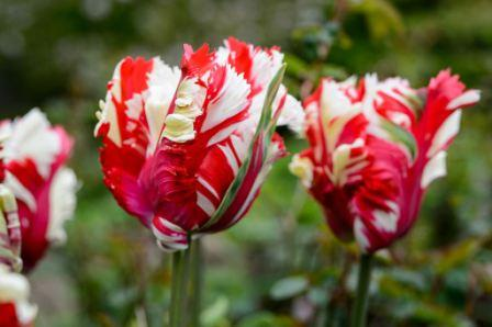Tulip Flowers1 - Top 10 Most Beautiful Tulip Flowers