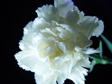 White Carnation 1 - Most Beautiful Carnation Flowers In The World