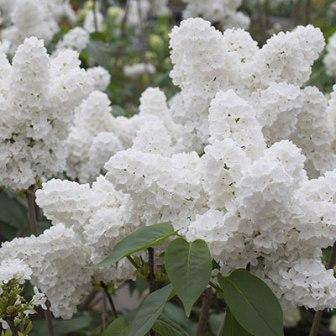 White angel Lilac Flower - Top 10 Most Beautiful Lilac Flowers