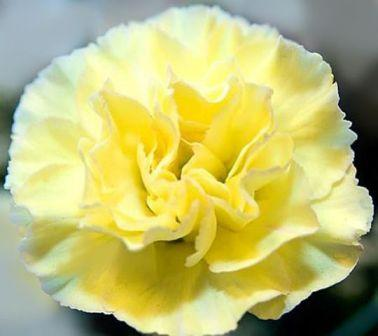 Yellow Carnation 1 - Most Beautiful Carnation Flowers In The World