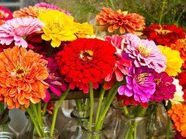 Zinnia Flowers Images