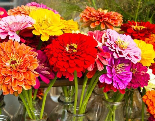 Zinnia Flowers Images