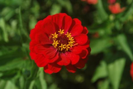 Zinnia flower 1 - Top 10 Most Beautiful Zinnia Flowers