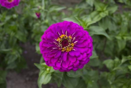 Zinnia flower - Top 10 Most Beautiful Zinnia Flowers