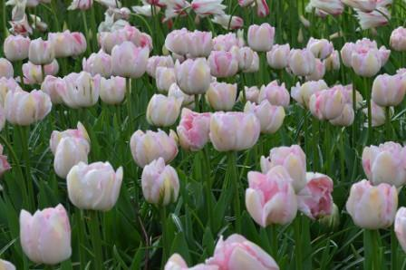 angelique tulip 1 - Top 10 Most Beautiful Tulip Flowers