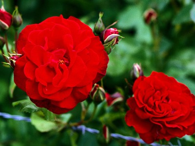 carnations red 1 - Most Beautiful Carnation Flowers In The World