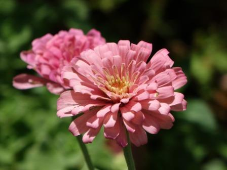 flower Zinnia images - Top 10 Most Beautiful Zinnia Flowers