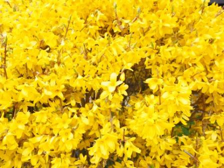 forsythia 1077346 1920 - Top 10 Most Beautiful Lilac Flowers