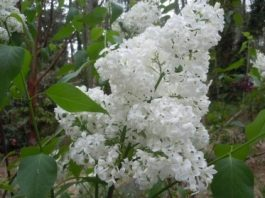 White Angel lilac flower