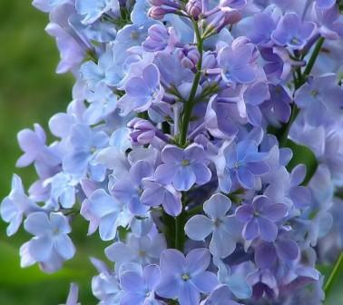 lilac flowers4 - Top 10 Most Beautiful Lilac Flowers