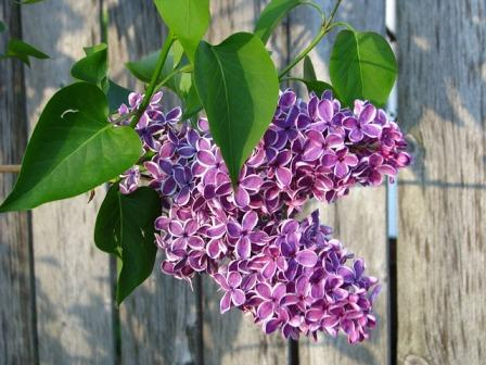 lilacs 13391 640 - Top 10 Most Beautiful Lilac Flowers
