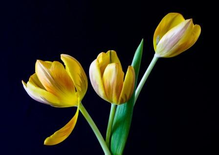 tulip 320774 1280 1 - Top 10 Most Beautiful Tulip Flowers