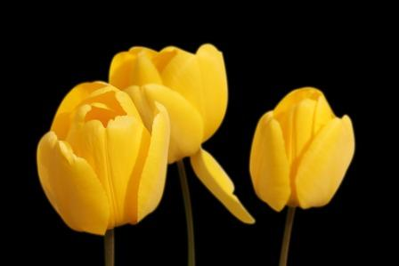 tulips 1364024 1920 1 - Top 10 Most Beautiful Tulip Flowers