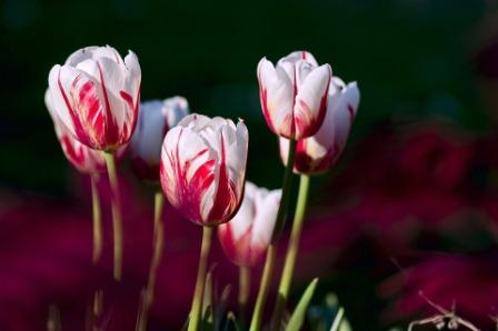 tulips 56423 1920 1 - Top 10 Most Beautiful Tulip Flowers