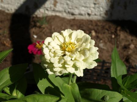 zinnia daliowa flowers - Top 10 Most Beautiful Zinnia Flowers