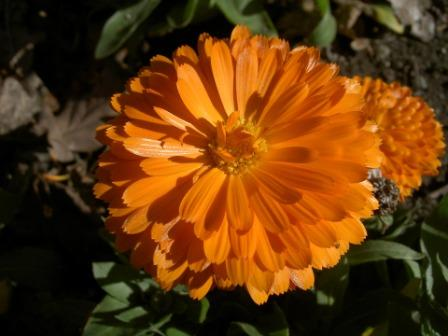 zinnia flower pictures - Top 10 Most Beautiful Zinnia Flowers
