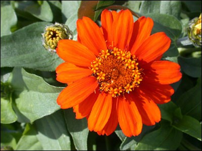 zinnia flower2 - Top 10 Most Beautiful Zinnia Flowers