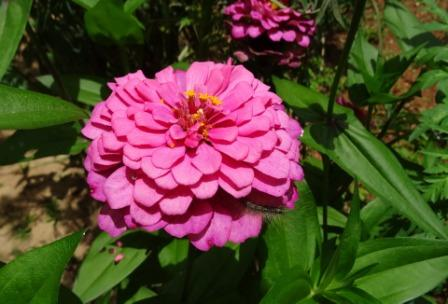 zinnia flowers - Top 10 Most Beautiful Zinnia Flowers