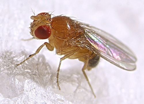 9e8a1a79ef003fc2c91ea030bbf9dc5a - 5 Natural ways to Get Rid of Fruit Flies