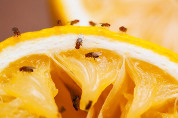 5 Natural ways to Get Rid of Fruit Flies