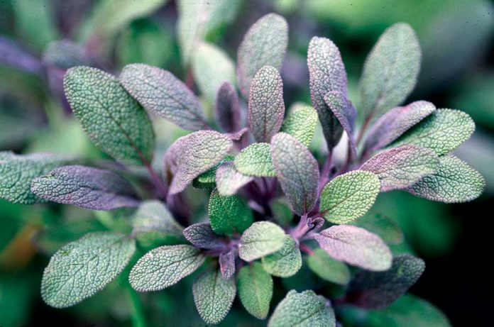 Amazing Health Benefits of Sage
