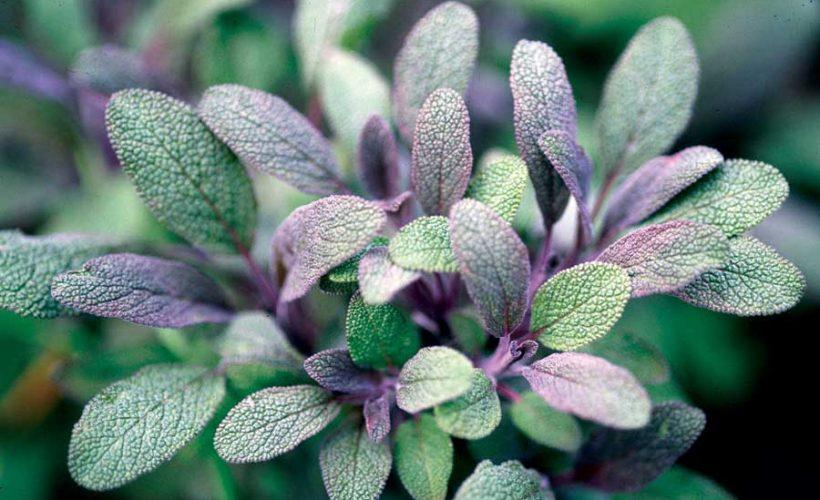 Amazing Health Benefits of Sage