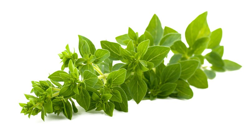 Oregano - Amazing Health Benefits of Oregano