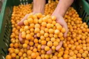 Inca berries health benefits