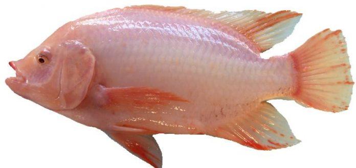 8 Amazing Benefits Of Tilapia Fish