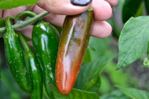 pepperharvest1 - How To Grow Hair Longer And Faster With Jalapeno?