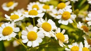 Feverfew 640x360 300x169 - Benefits Of Feverfew For Hair, Health, and Skin