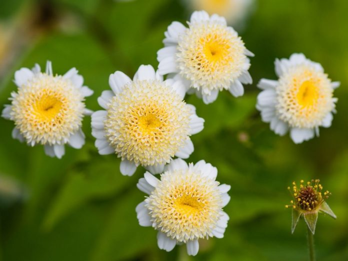 Benefits Of Feverfew