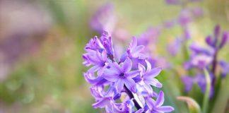 Benefits Of Hyacinth Herb