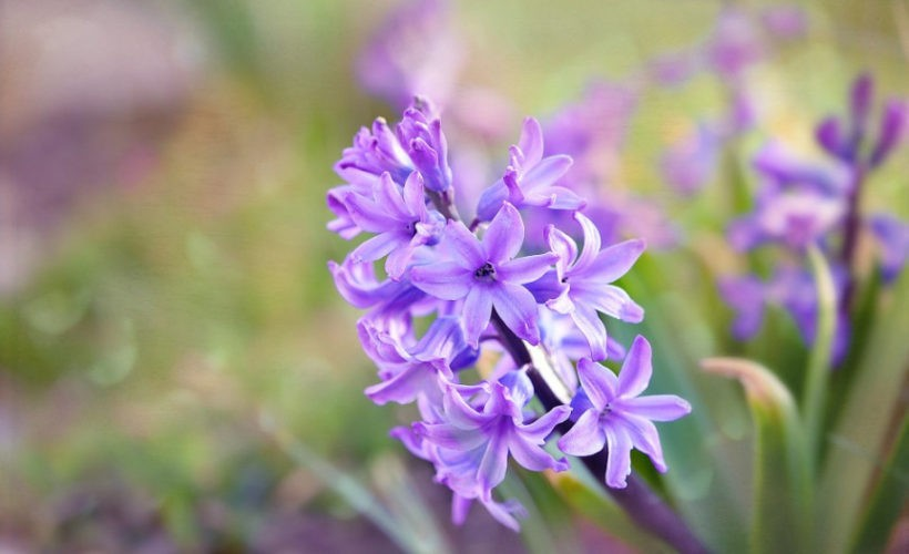 Benefits Of Hyacinth Herb