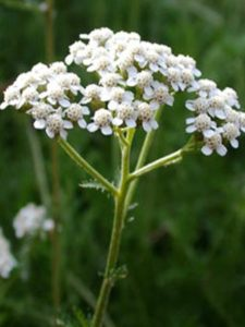 10 Health and Beauty Benefits of Yarrow Essential Oil 2 225x300 - 10 Health and Beauty Benefits of Yarrow Essential Oil