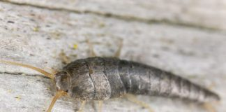 Best Natural Ways To Get Rid Of Silverfish Infestation
