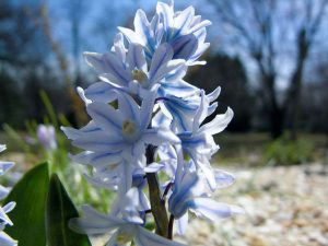 Puschkinia scilloides Aragats 300x225 - Top 10 Spring Flowering Bulbs