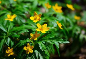 blooming winter aconite eranthis hyemalis 300x206 - Top 10 Spring Flowering Bulbs